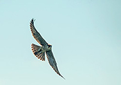 immature peregrine in flight